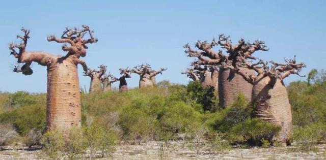 マダガスカルムルンベのバオバブ