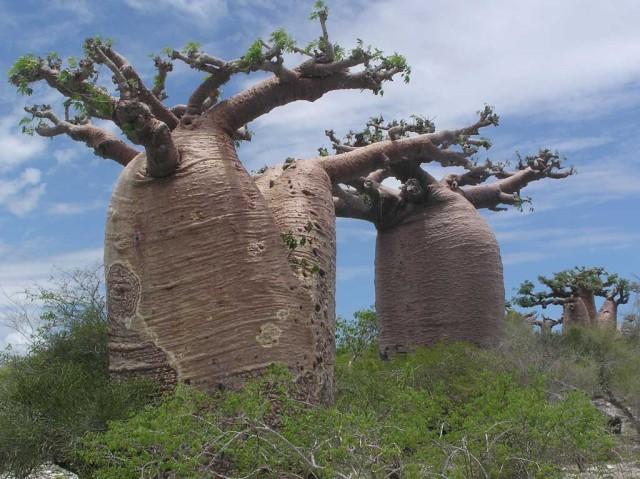 マダガスカルアンダバドアカのバオバブ