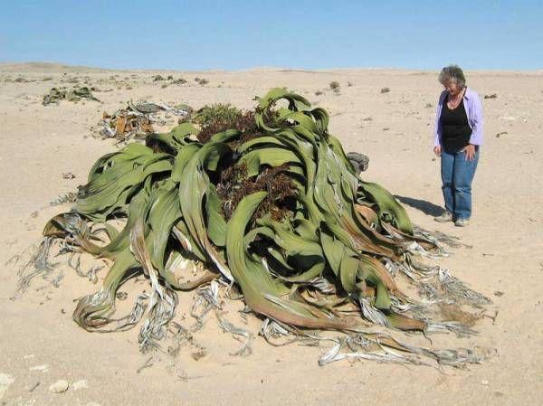 ナミビアナミブ砂漠のウェルウィッチア