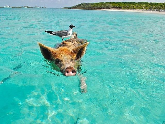 ピッグ・ビーチの豚