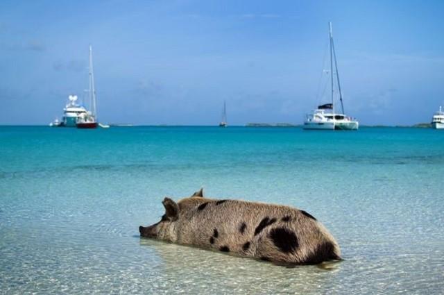 バハマのピッグ・ビーチの豚