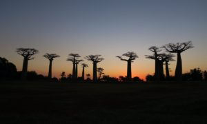 """マダガスカル(5)""""木""""を見に行くために会社を辞めた現無職はこちらです"""