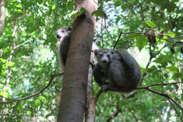 ツィンギー_アンカラナ特別保護区_リモ