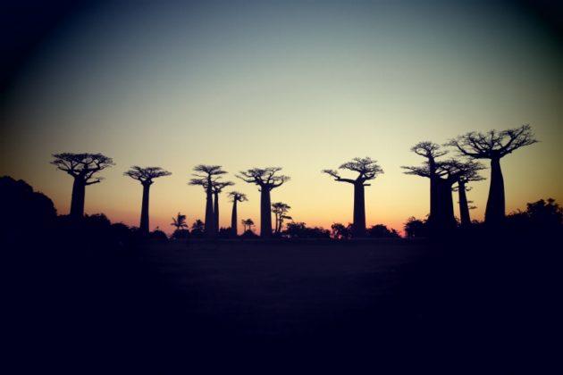マダガスカル_バオバブ