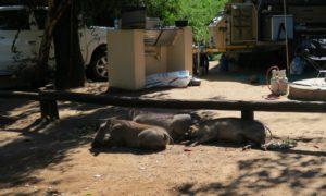 ボツワナ(1)ナミビアからボツワナへの行き方と野生動物との初対面