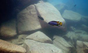マラウィ(6)初・淡水! マラウィ湖でダイビング@リコマアイランド