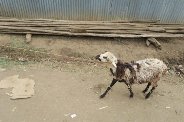エチオピア_羊