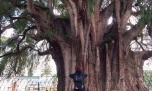 メキシコ(5)オアハカ到着!! 勝手に命名トトロの木と「狩りから稲作へ」