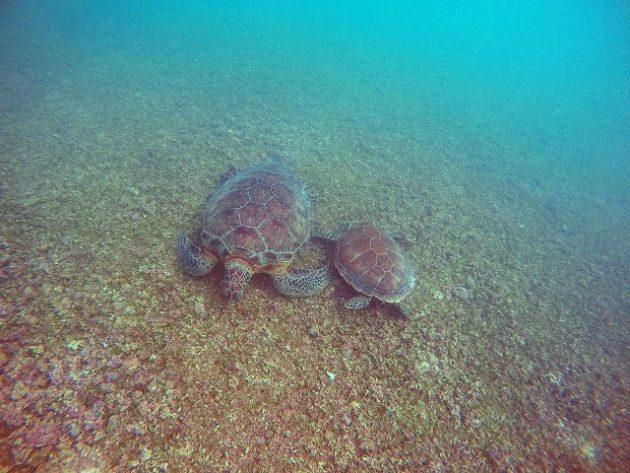 アクマルビーチ_ウミガメ