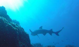 パナマ(5)これが集大成だ! コイバ島ダイビングは大物続出で大興奮!!