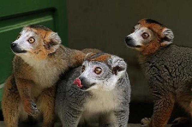 マダガスカルのキツネザル