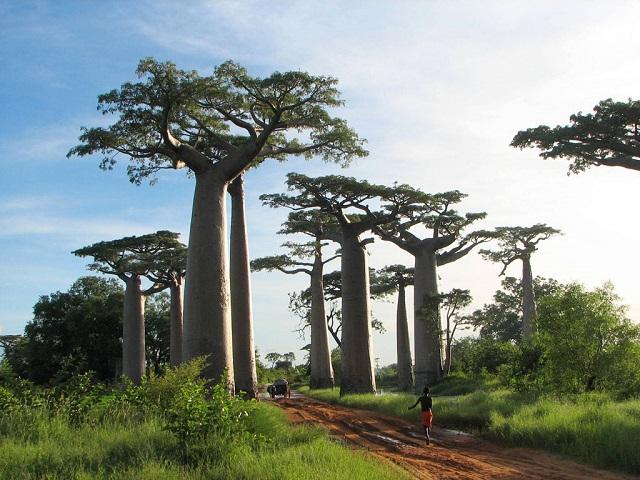 マダガスカルのバオバブ