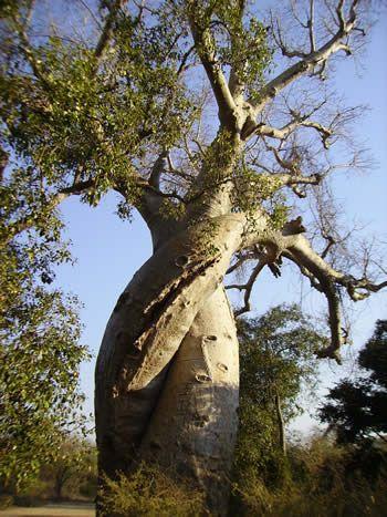 マダガスカルモロンダバのバオバブ