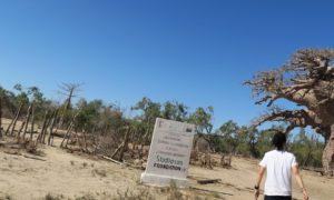 マダガスカル(12)最強のバオバブ「ツィタカクイケ」とちっぽけな私