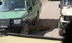 タンザニア(4)ンゴロンゴロ保全地域で満喫! サファリな1日