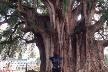 トゥーレの木