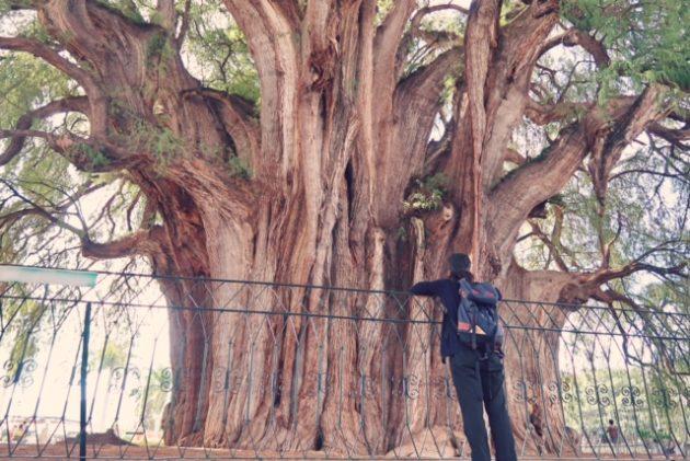 オアハカツアー_トゥーレの木